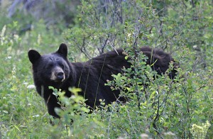 A picture of a Black Bear